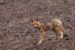 Fox andino (culpaeus de Lycalopex) Imagen de archivo