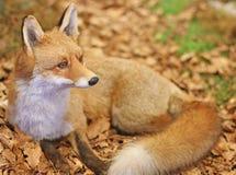 Fox ao descansar o encontro no meio das folhas 3 imagens de stock