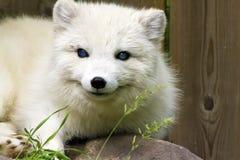 Fox arctique Image libre de droits