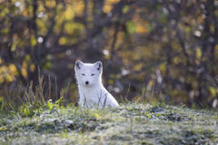 Fox arctique Photos libres de droits