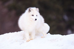 Fox arctique photographie stock