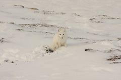 Fox arctique sain photos stock