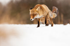 Fox in area in the Netherlands. The fox stay in nederland , whit snow Royalty Free Stock Photos