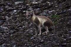 Fox artico fotografie stock