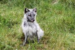Fox artico Fotografie Stock Libere da Diritti
