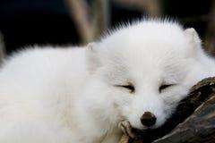 Fox artico Fotografia Stock Libera da Diritti