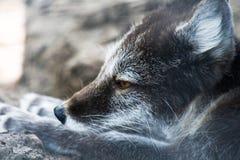 Fox artico nei colori di estate Fotografia Stock
