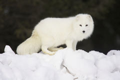 Fox artico in neve bianca profonda Immagine Stock Libera da Diritti