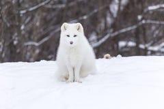 Fox artico in una scena di inverno Fotografia Stock Libera da Diritti