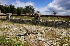 Fox au lago Escondida Argentine Photos stock
