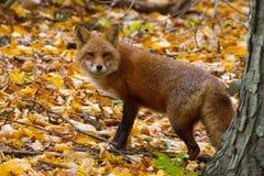Fox auf belaubter Neigung stockfotografie