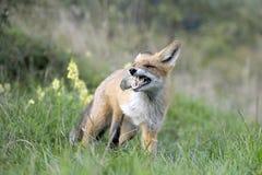 Fox auf dem Frühstück stockfoto