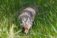 Fox auf dem Vulkan Lizenzfreie Stockfotografie