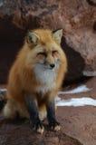 Fox auf den Felsen lizenzfreie stockbilder