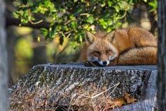 Fox auf einem Stumpf Stockfoto