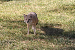 Fox auf Gras stockbild