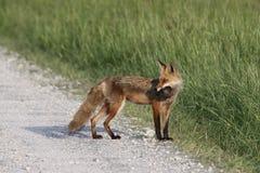 Fox avec le dîner Photos stock