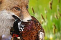 Fox avec un feasan dans la bouche Image libre de droits