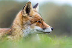 Fox in the AWD. People who live in the surroundings of the Amsterdamse Waterleidingduinen might recognize the foxes portrayed in this blog post. It is even said Stock Images
