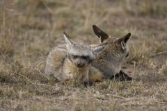 Fox Bastão-orelhudo que descansa no Masai Mara Fotografia de Stock