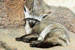 Fox 'bat'-à oreilles Images libres de droits