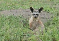 Fox Batte-à oreilles africain photographie stock