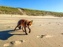 Fox on the beach. A fox on the Dutch beach of Zandvoort aan Zee Stock Photography
