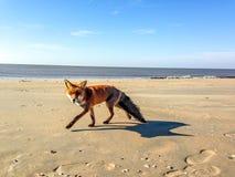 Fox on the beach. A fox on the Dutch beach of Zandvoort aan Zee Royalty Free Stock Photography