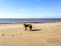 Fox on the beach. A fox on the Dutch beach of Zandvoort aan Zee Royalty Free Stock Images