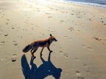 Fox on the beach. A fox on the Dutch beach of Zandvoort aan Zee Stock Photo