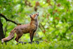 Fox with beatiful forrest background Stock Photography