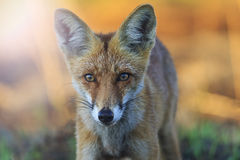 Fox beautiful portrait at sunrise with sunny hotspot Stock Image