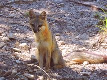 Fox. This beautiful red and gray female fox sits curiously as she observes her surroundings stock image