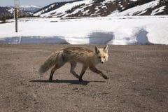 Fox bieg Przez drogę Obraz Stock