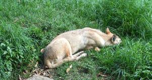 Fox blanco hermoso de reclinación Imagen de archivo