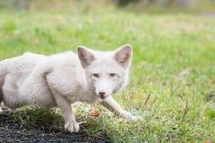 Fox blanco que está al acecho en la hierba Imagen de archivo libre de regalías