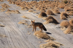 Fox in Bolivia Royalty Free Stock Photos