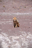 Fox in bolivia. A wild fog in bolivia desert Royalty Free Stock Photo