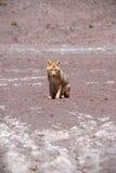 Fox in bolivia Royalty Free Stock Photo