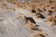 Fox in Bolivien Lizenzfreie Stockfotos