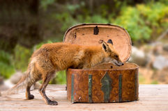 Fox box Royalty Free Stock Image