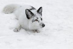Fox branco que encontra-se na neve fotografia de stock