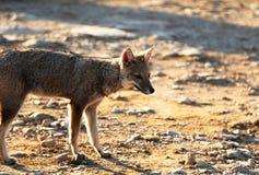 Fox brasileiro na montanha Imagem de Stock Royalty Free