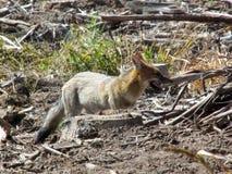 Fox Brasilien Stockbild