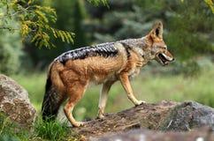 Fox Stock Image