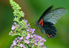 Fox butterfly Stock Images