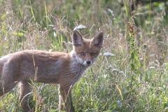 Fox-cachorro en prado Imágenes de archivo libres de regalías
