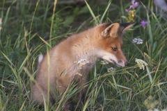 Fox-cachorro en prado Imagenes de archivo