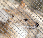 Fox in a cage Stock Photo