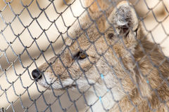 Fox in a cage Stock Images